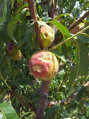Pomes picades per les pedres